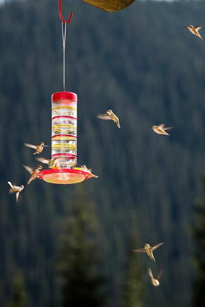 Hummingbird Swarm