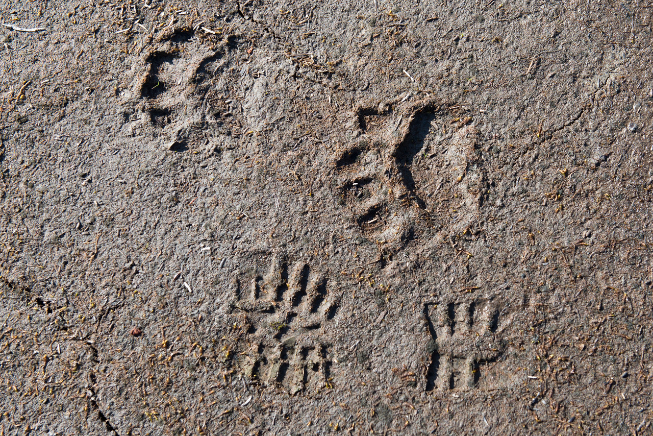 Bear tracks in the Northern Selkirks
