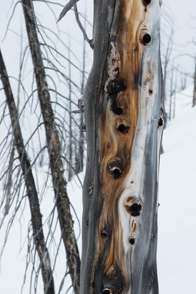 Burnt Forest, Mule Deer