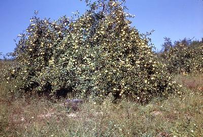 1947 Apples