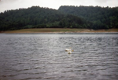 1947 Norris Lake with Ducks