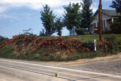 1949 Roses along Roadside