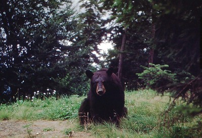 1953 - Bear in Smokies 3