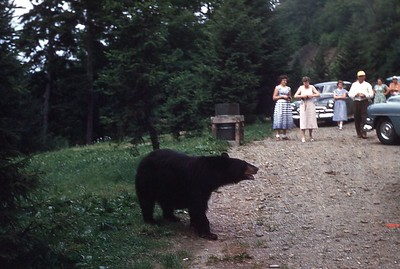 1953 - Bear in Smokies