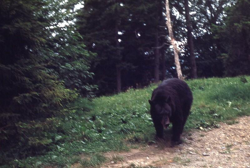1953 - Bear in Smokies 1