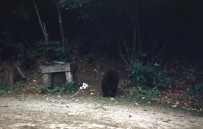 1954 - Bear in Smokies