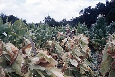 1954 - Cutting tobacco