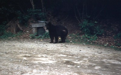 1954 - Bear in Smoky Mt