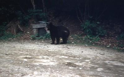 1954 - Bear in Smoky Mt