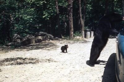 1956 Little bear cub in Smokies