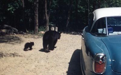 1956 Bear with cub in Smokies