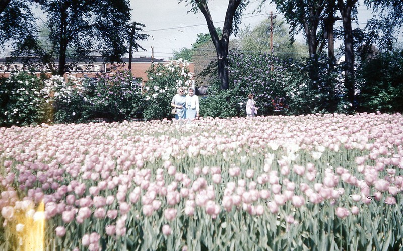 1964 - Tulips at Lilac Festival