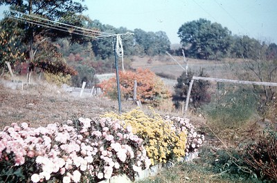 1965 Fall- Our Chrysanthe Mums