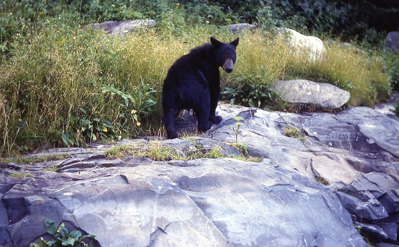 1966 - Bear in Smokies 2