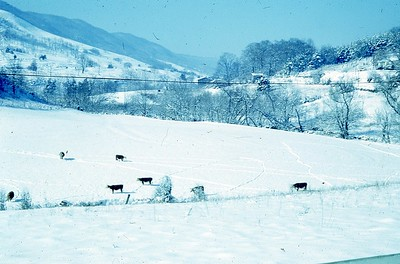 1971 Cattle in snow