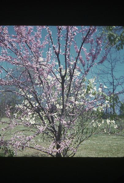 spring 1972-''RED BUD''