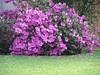 The azaleas are blooming.