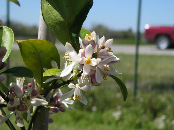 The Lemon Tree is blooming