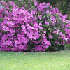 The azaleas are in full bloom