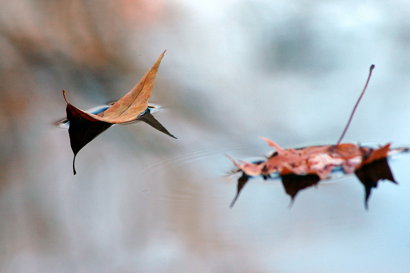 Ash Leaf With Maple Landing