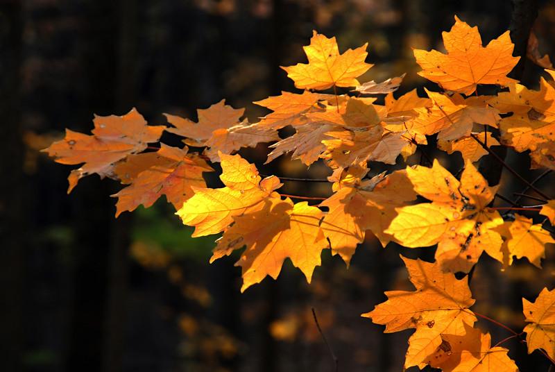 Maple Golden Glow