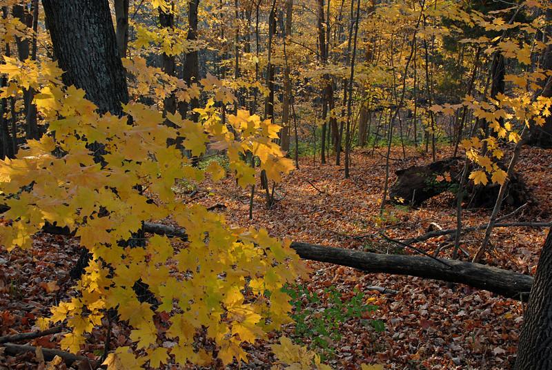 Maple Woodlands Autumn Color