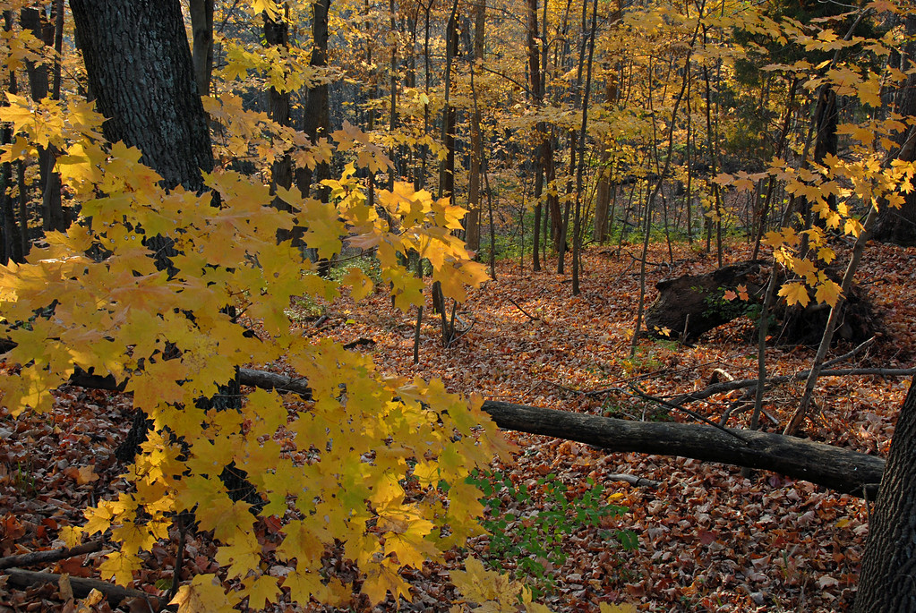 Maple Woodlands Autumn Color