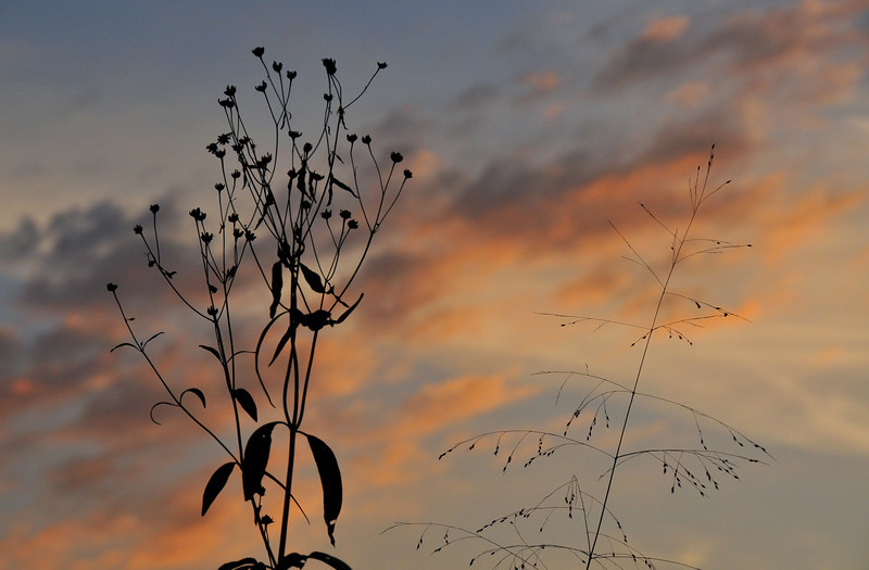 Prairie Plants Sunset | Cincinnati Nature Center at Rowe Woods