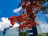 Flame tree blooms and Saipan's World Resort.