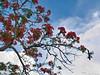 Saipan flame tree blooms.