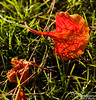 Saipan flame tree petal.