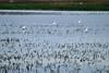 Egrets, Montezuma Wildlife Refuge