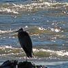 Great Blue Heron on rock in Potomac
