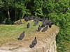 6/17/2006  The Turkey Vulture is gentle and non-aggressive.  Turkey Vultures roost in large community groups, breaking away to forage independently during the day. This group are just above the Catoctin Creek Aqueduct western upstream wing wall.