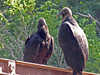 6/17/2006   Turkey vultures were given their name because their featherless red head gives them the appearance of a turkey. This pair are perched on the Bailey Bridge next to the Catoctin Creek Aqueduct remains.