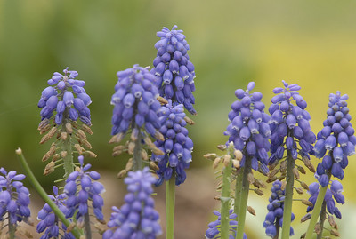 Grape Hyacinthe