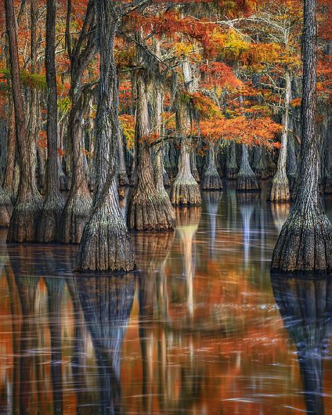 Cypress Beatitude - Southern US