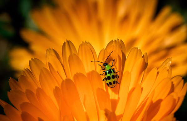 Beetle of a Different Color