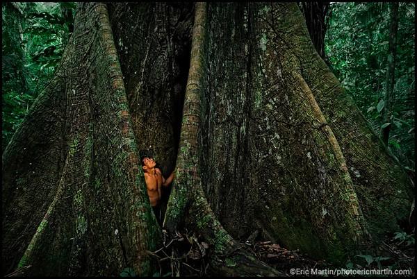 PEROU. Amazonie. RŽserve de la Biosphre de Manu. Portrait du piroguier Arturo Tishibo qui appartient au peuple chasseur-cueilleur indigne des Matsiguenga. Originaire de la zone interdite du parc national, il est le seul membre de sa communautŽ ˆ tre sortie de la fort de Manu. Il est photographiŽ ici encerclŽ par les racines de l'arbre ( Ceiba ou Fromager) sacrŽ des Mayas