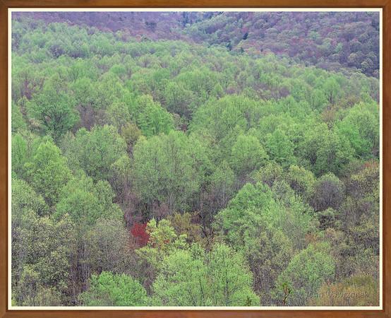 Red Tree, Newfound Gap Road