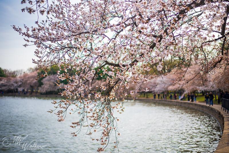 Cherry Blossom Basin