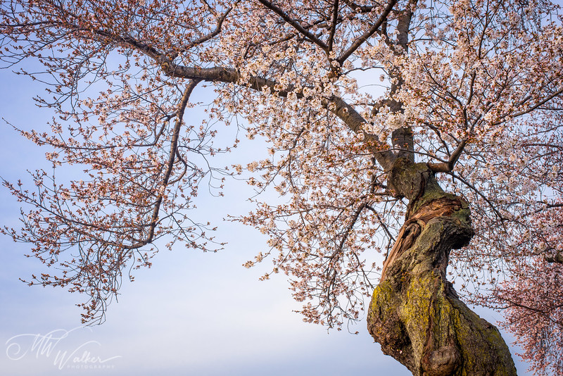 Gnarled Cherry Blossom Tree