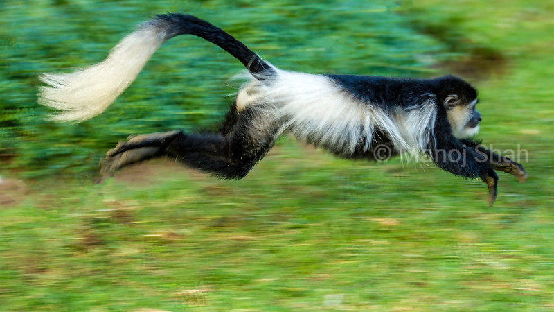 Abssinian Black-and-White colobus running at full speed to the tree in the Great Rift Valley, Kenya