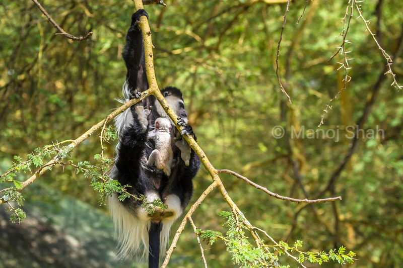 Abssinian Black-and-White colobus baby carried by mother in the GReat Rift Valley.
