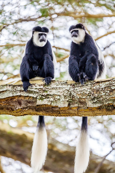 Two abyssinian white colobus monkeys sitting on a tree in Great Rift Valley, Kenya