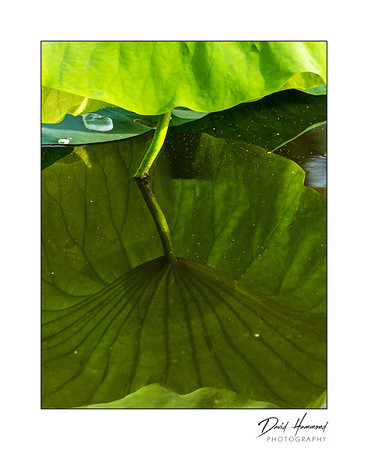 Lily Pad & Reflection