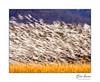 Snow geese blur