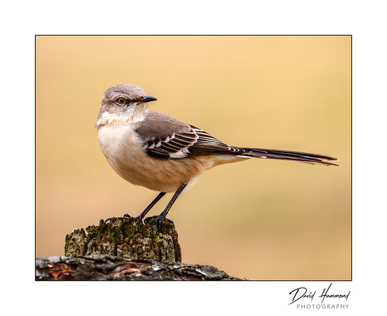 Northern Mockingbird (Mumus polyglottos)