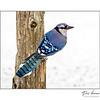 Blue Jay (Cyanocitta cristata )