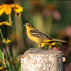 Orchard Oriole - Female (Icterus spurius)